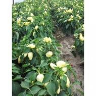 Feherozon - 500 sem - Seminte de ardei gras cu crestere determinata cu capacitate de crestere medie de la Zki