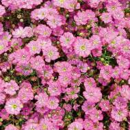 Floarea Miresei Roz (0,8 g), seminte de floarea miresei de culoare roz delicat, Agrosem