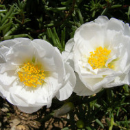 Flori de Piatra duble albe (0,1 g), flori de piatra Portulaca grandiflora albe, Agrosem