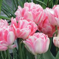 Foxtrot (8 bulbi), lalele batute duble,roz deschis cu insertii de alb, bulbi de flori