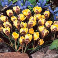 Fuscotinctus (10 bulbi), branduse galben intunecat, bulbi de flori