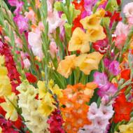 Gladiole Mixed (4 bulbi), gladiole superbe de diferite culori, bulbi de flori, Yurta
