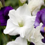 Gladiole White Prosperity (7 bulbi), cu flori mari, albe ca zapada, bulbi de flori