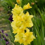 Gladiole Yellow (5 bulbi), cu flori stralucitoare aurii, bulbi de flori