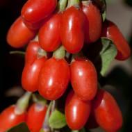 Goji Big Berry, rasad de Goji Berry, arbust peren rezistent la seceta, cu fructe mari de 2 cm si gust dulce-amarui, Yurta