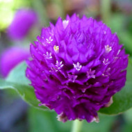 Gomfrena violet (0,15 g), seminte de flori colorate, globulare, Agrosem