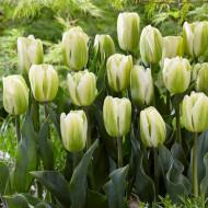 Green Spirit (8 bulbi), lalele bicolore alb cu verde, bulbi de flori