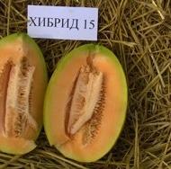 HIBRID 15 F1 - 5 gr - Seminte de Pepene Galben Bulgaresti Profesionale de la Opal