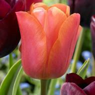 Jimmy (5 bulbi), lalele portocalii cu nuanța de coral, bulbi de flori
