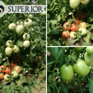Kruna - 10 gr - Seminte de Tomate Timpurii Determinate Roze pentru camp de la Superior Serbia