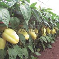 KVADRY F1 seminte ardei gras (1000 sem) hibrid ardei gras bloky, timpuriu, alb crem cu maturare in rosu deschis, Semo Cehia