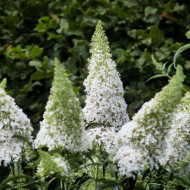 Liliac de vara White Profusion, arbust ornamental de talie mare, cu flori grupate in panicule mari, albe, intens parfumate, Yurta