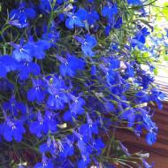 Lobelia Curgatoare albastra (4500 seminte), seminte flori curgatoare Lobelia erinus, Agrosem