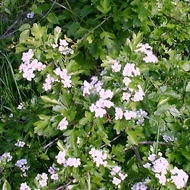 Maghiran de Iarna Medicinal - Seminte Plante Medicinale Oregano alb Maghiran de Iarna de la Florian