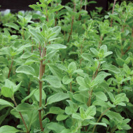 Maghiran (ghiveci 10,5 cm), rasad planta aromatica Majoran