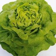 Malis - 5000 sem - Seminte drajate si pregerminate de salata ce este recomandata pentru culturile de primavara si toamna oferind rezultate extrem de bune si constante de la Bejo