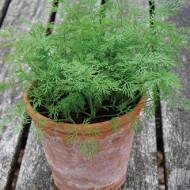 Marar Nano (500 seminte) soi de marar cu funze compacte pentru cultivare pe tot parcursul anului, Florian