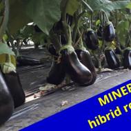 Minerva F1 (500 seminte) de vinete timpurii negre, lucioase, oval-rotune, Agrosel