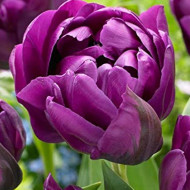 Negrita Double (8 bulbi), lalele mov batute, bulbi de flori