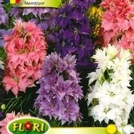 Nemtisor - Seminte Flori Nemtisor de la Florian
