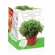Oregano - Kit plante aromatice