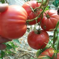 Oxheart Neo Americana (50 seminte) rosii inima de bou, culoare rosu-zmeuriu, carnoase, SUA