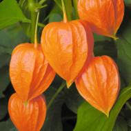 Papalau (0.3 g) seminte de Physalis cu fructe rosii-portocalii decorative si comestibile, Agrosem