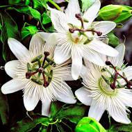 Passiflora caerulea Constance Elliott (ghiveci 2 l), floarea pasiunii parfumata, flori stelate, albe