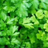 Patrunjel de frunza Plain Leaved (2 gr), seminte de patrunjel de frunza soi semi-timpuriu, Agrosel