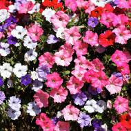 Petunie curgatoare mix (0.2 g), seminte de petunie planta curgatoare superba cu flori in culori diferite, Horti Tops