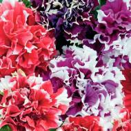 Petunie curgatoare mix F2 (80 seminte) planta anuala, hibrid, mixtura, Agrosem