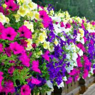Petunie Curgatoare Pendula Mix (400 seminte) planta anuala petunie, City Garden