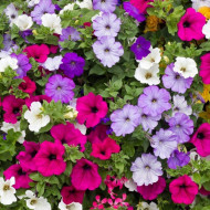 Petunie pitica mix (1,5 g), seminte de petunii pitice pentru jardiniere si ghivece, in diferite culori Agrosel