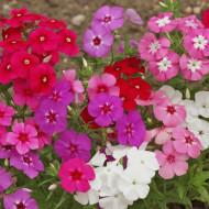 Phlox - Brumarea mix (0,5 g), seminte de plante perene cu flori mari, divers colorate, Opal
