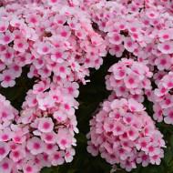 Phlox Paniculata Bright Eyes (ghiveci 1 l), plante perene cu flori mari in doua nuante de roz
