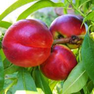 Puiet de nectarin Harco, pom fructifer nectarin cu fructe mari, cu pulpa suculentă și gustoasă, Yurta