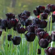 Queen of Night (5 bulbi), lalele mov spre negru, bulbi de flori