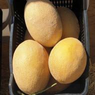 Rebeca F1 (500 seminte) de pepene galben timpuriu cu miez portocaliu tip ananas, Hazera