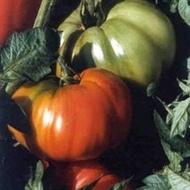 Rhodia F1 - 500 sem - Seminte de rosii ideale pentru orice gradina acestea putand fi cultivate chiar si pe arac cu pulpa gustoasa si dulce neavand capac verde de la Isi Sementi