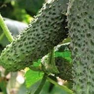 Seminte castraveti Merengue F1 (1000 seminte), tip cornichon, Seminis