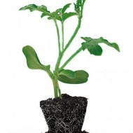 Semințe portaltoi pepene verde Lagenaria AS (500 seminte), Hektar