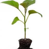 Seminte portaltoi Shintoza F1 (500 seminte), germinare buna, Fito Semillas