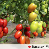 Seminte rosii Bacalar F1 (500 seminte), nedeterminate, Syngenta