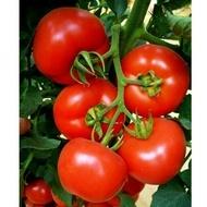 Seminte rosii Belladona F1 (500 seminte), crestere nedeterminata, Hazera