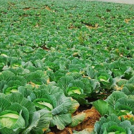 Seminte varza de Buzau (2500 seminte), varza alba de toamna, soi autohton, Agrosel