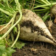 Sfecla de zahar Semizuccherina (1 kg), seminte de planta bienala industriala, Agrosem