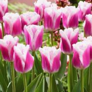Siesta (8 bulbi), lalele cu franjuri deosebite, bulbi de flori