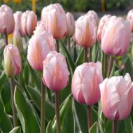 Sweet Impresion (8 bulbi), lalele roz, bulbi de flori