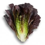 Thurinus - 1000 sem - Seminte drajate de salata tip romana cu frunze alungite groase de culoare rosu grena la exterior si verde la interior cu un gust excelent recomandata pentru mixturi de salate de la Rijk Zwaan