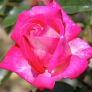 Trandafir Gaumo (1 butas), trandafir rosu ciclam parfumat, butasi de trandafiri